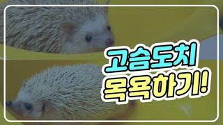 목욕 잘하는 고슴도치 나야나  / 도치용품 소개  / …
