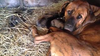土佐犬とプレサカナリオ50%50% Tosa Inu & Presa Canario 50% 50%