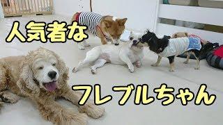 フレンチブルドッグ Vinoちゃん ミックス犬 ザックくん コーギー ルイく...