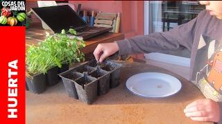 Como germinar semillas de Perejil y Cilantro - Transplante y Cuidados @cosasdeljardin