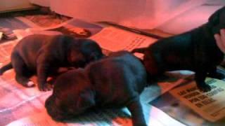 Cachorros Staffordshire Bull Terrier  16 1 10