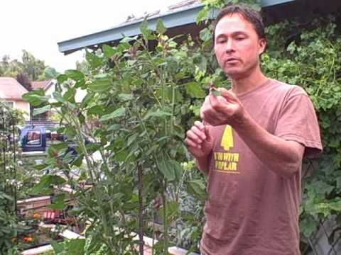 Growing Lambsquarters aka Wild Spinach - an edible weed ...