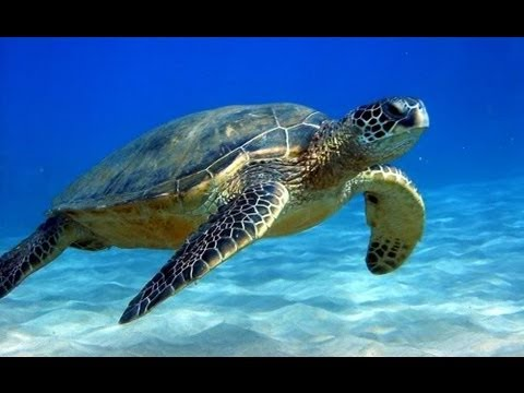 Antigua Islands Free Diving With Sea Turtles