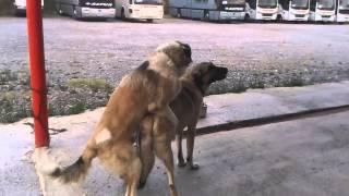 Kangal Köpek çiftleşmesi
