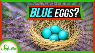 What's Up With Those Bright Blue Eggs?