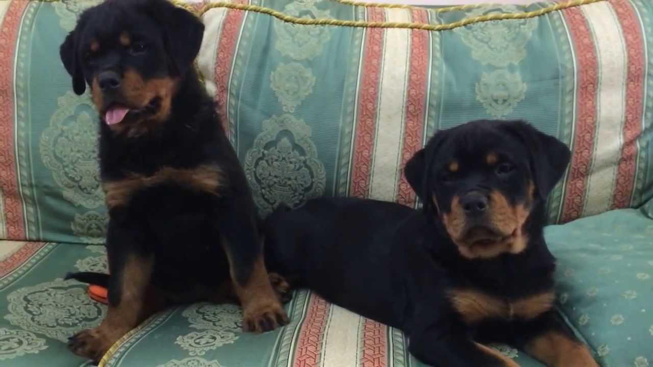 Cuccioli Rottweiler Del Leone Nero Youtube