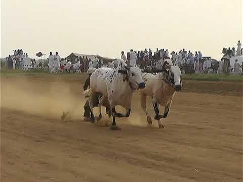 Bul Race In Pakistan Sunny Video Fateh Jang  15  07  2018  .