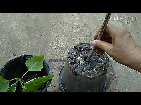 ปลูกพริกกลับหัววิธีแกล้งพริกให้ออกดอกดก ทองปาน ปลูกผัก