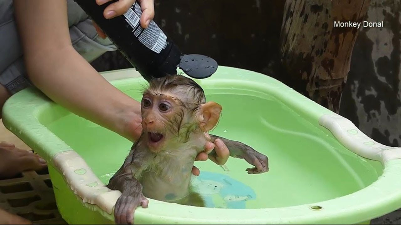 Mom Clean Baby Monkey Donal In The Morning