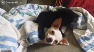 Котёнок нападает на собаку