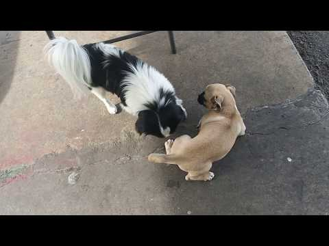 Japanese Chin VS Baby Pug