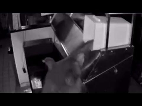Three bears break into Colorado pizza shop