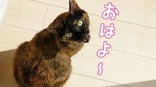 朝はママとパパに挨拶をする真面目なサビ猫モモちゃん