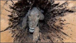 Bí ẩn chú chó 'mắc kẹt' 60 năm trong thân cây, thi thể vẫn nguyên vẹn không phân hủy