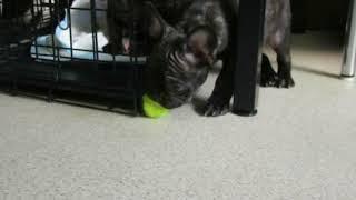 富山県小矢部のフレンチブルドッグ仔犬の動画 thumbnail
