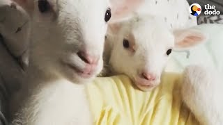 Rescued Lambs Dance Together When They're Happy  | The Dodo