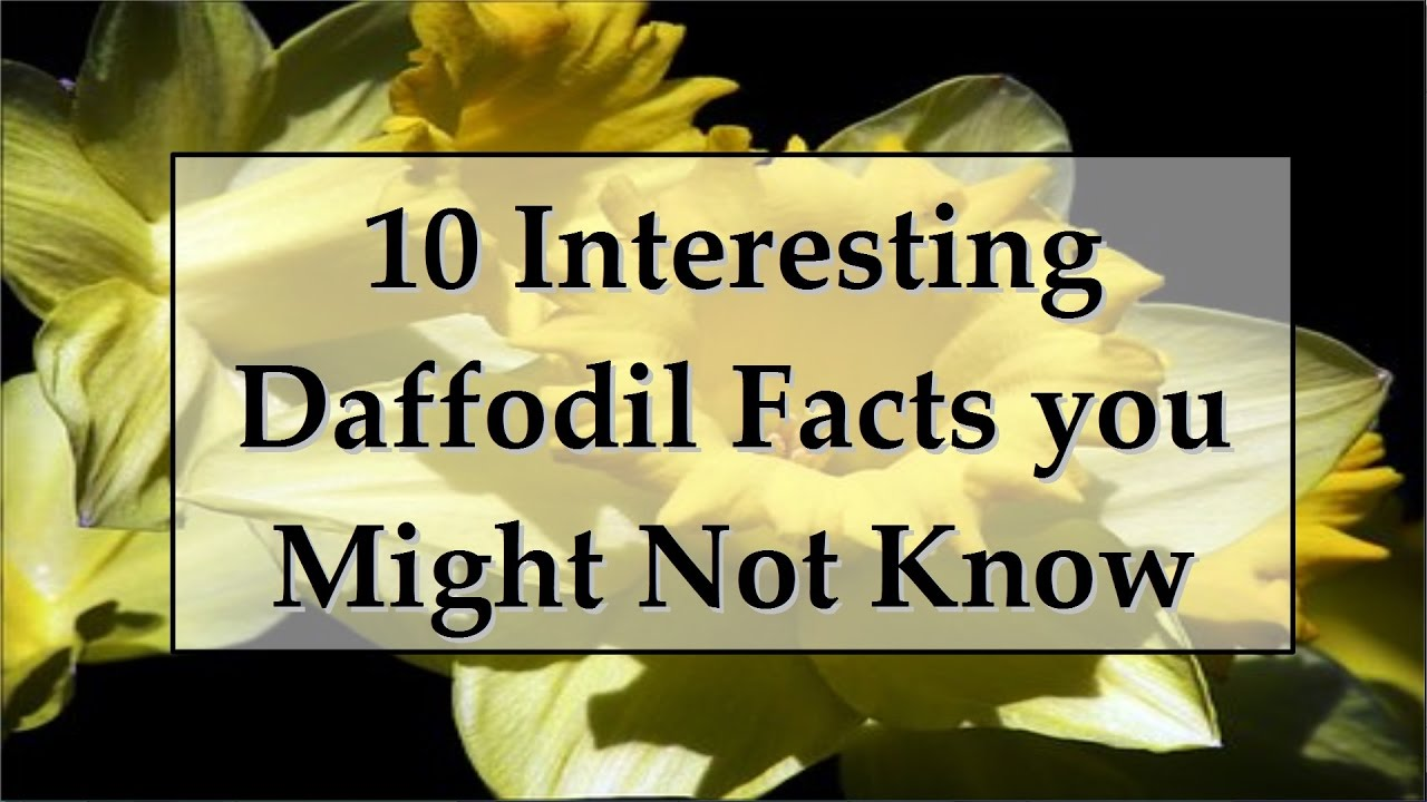 10 Interesting Facts About Daffodils Youtube