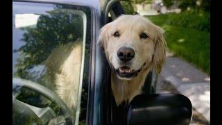 Как перевозить собак в авто?