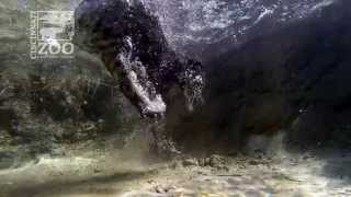 Fishing Cat Underwater GoPro - Cincinnati Zoo