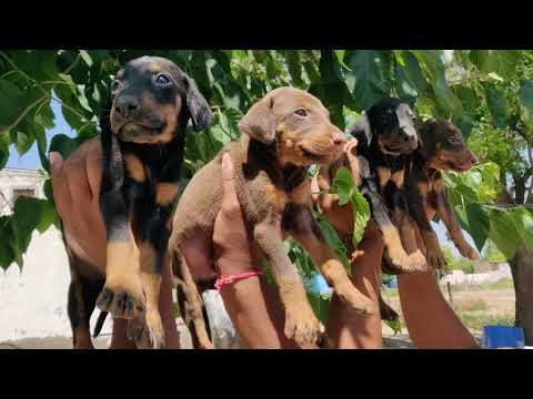 Doberman puppy Available - 9728011133, 9319811881  - Doggyz World
