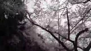 진해 군항제 벚꽃 축제 가는 길