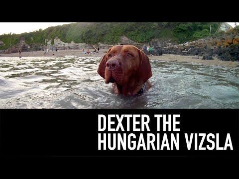 Dexter The Hungarian Vizsla