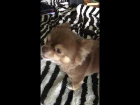 Singing dog Max