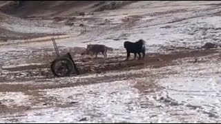 Two wolves VS two Tibetan mastiffs
