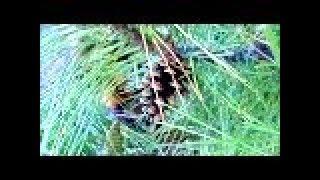 Деревенское Утро. В  сосны за  грибами  с собакой и зайцами