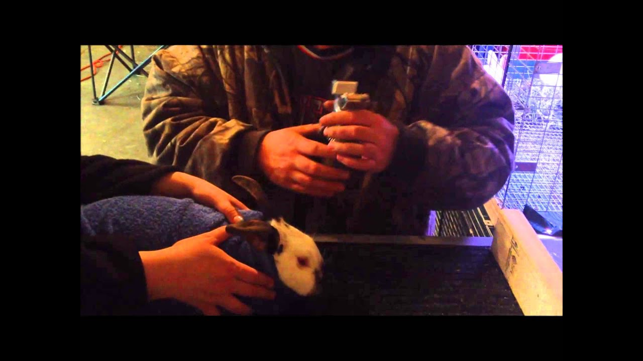 Tattooing rabbits ears with the grand champion tattoo kit for Rabbit tattoo kit