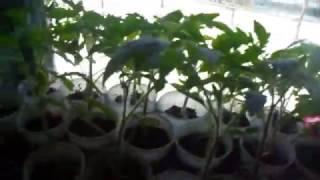 Птица (зеленушка) обзор рассады