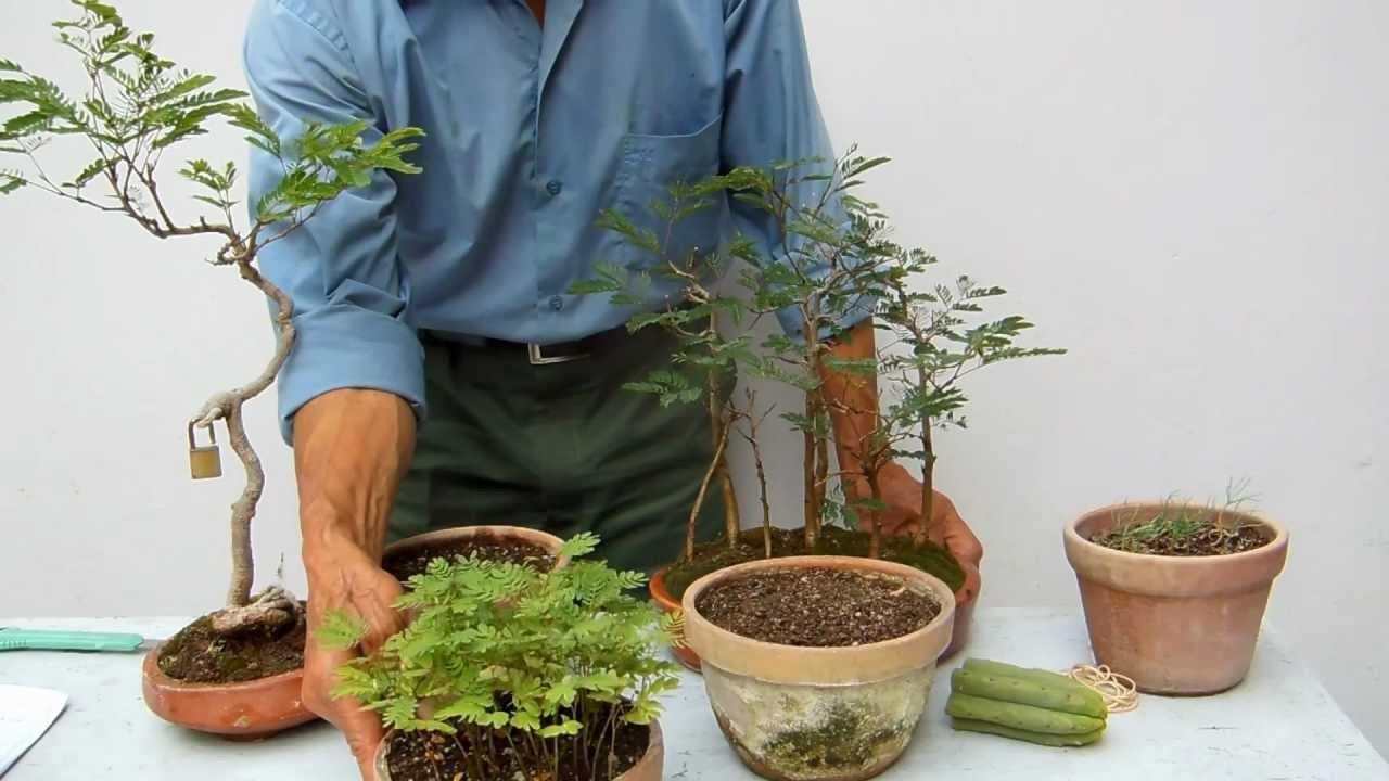 Las acacias r pidas y efectivas 2 youtube - Como cultivar bonsai ...