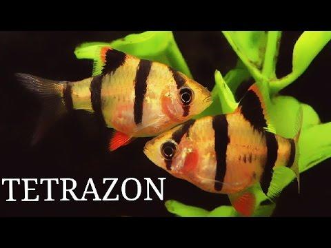 Tetrazon (Puntius Tetrazona, Kaplan Barb)