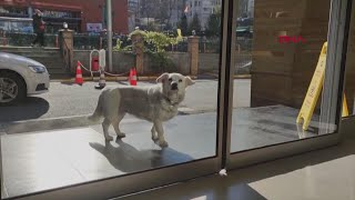 Faithful dog sits outside hospital every day waiting for her owner