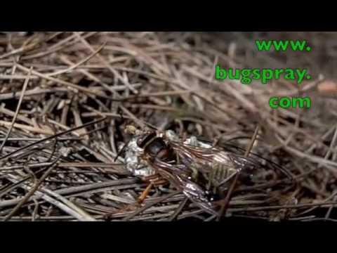 Hornet Vs Praying Mantis Preditory Wasp attacki...
