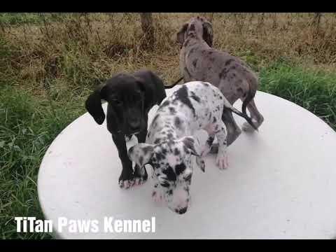 Great Dane Puppies Batch June 2019 (Titan Paws Kennel)
