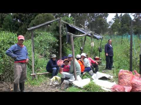 Physalis Organic Colombia