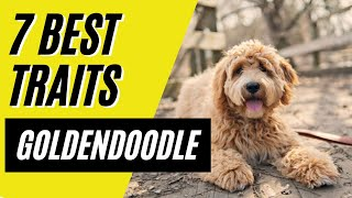 GOLDENDOODLE  7 Reasons Why the Goldendoodle is the Perfect Dog