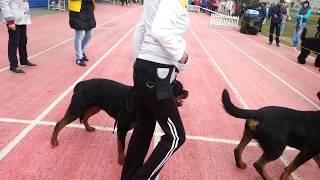 Выставка собак г. Абакан, ринг Ротвейлеров 20.05.17