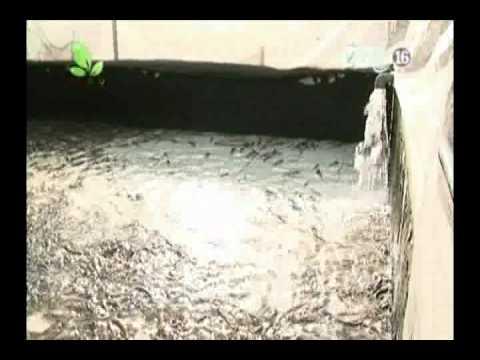 Cá Giống Cá Rô Đầu Vuông - Cá Quả ( cá lóc).mp4