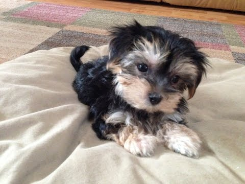 Adorable Morkie Or Maltese Yorkie Pups For Sale In Florida
