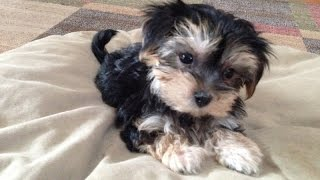 Adorable Morkie Or Maltese Yorkie Pups For Sale In Florida- Michelines Pups