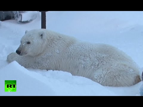 Stubborn polar bear airlifted far away after food raids on oil rig