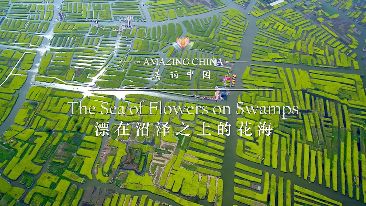 【Amazing China】The Sea Of Flowers On Swamps | iPanda