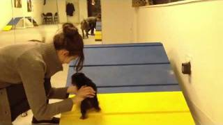 Pit Bull Teaches 8-week Yorkie Puppy Agility | Instinct Dog Training Nyc
