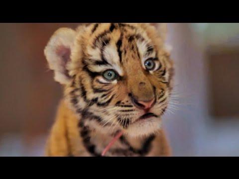 Ces chats sont des b b s tigre youtube - Bebe tigre mignon ...