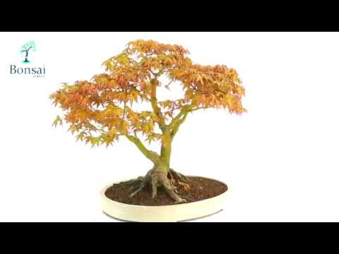 Japanese Maple Bonsai For Sale With Outstanding Root Flare Nebari Youtube