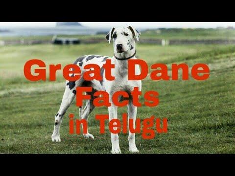 Great Dane facts in telugu ll popular breed dog ll NITISH ANDROID TECH IN TELUGU