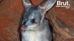 Le bilby, un petit marsupial australien en danger
