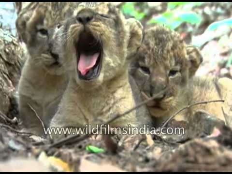 Saving the endangered Asiatic Lion: Lion cubs born in Gujarat